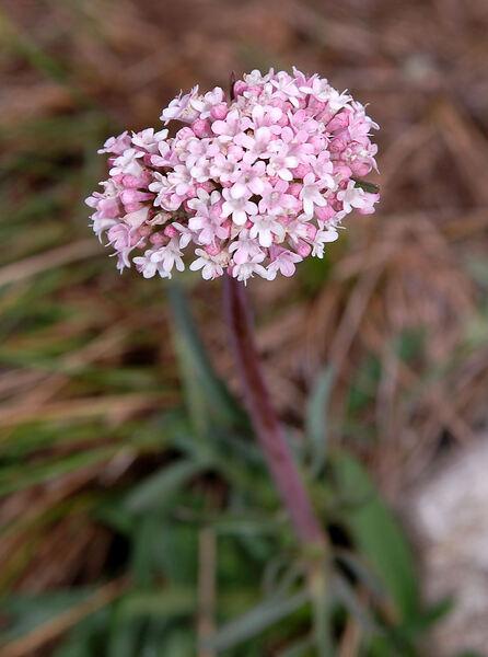 Valeriana tuberosa L.