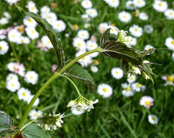 Vincetoxicum hirundinaria Medik. subsp. contiguum (W.D.J.Koch) Markgr.