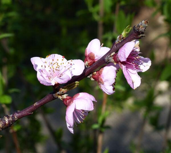 Prunus persica (L.) Batsch 'K2'