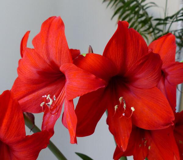 Amaryllis sp.