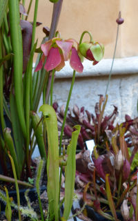 Sarracenia minor Walt.