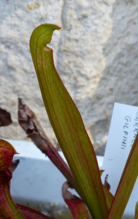 Sarracenia x gilpinii C.R. Bell & Case
