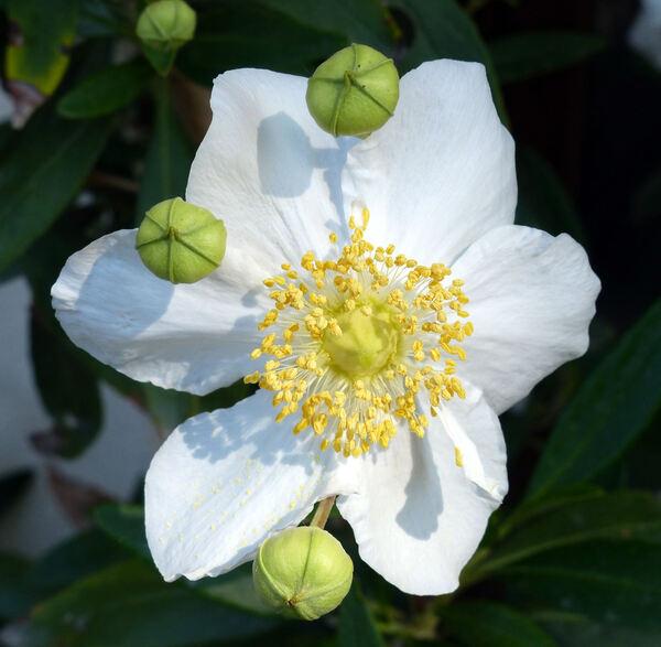 Carpenteria californica Torr.