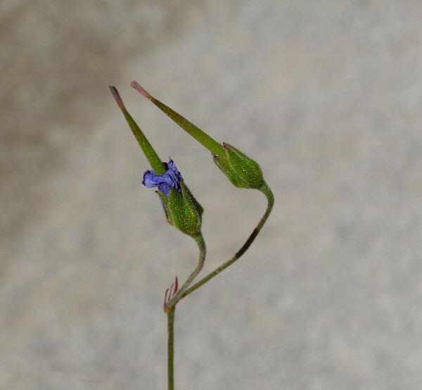 Geranium pyrenaicum Burm.f. subsp. pyrenaicum
