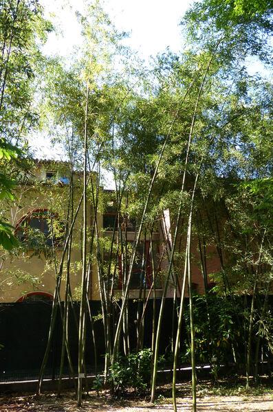 Phyllostachys sulphurea (Carrière) Rivière & C.Rivière