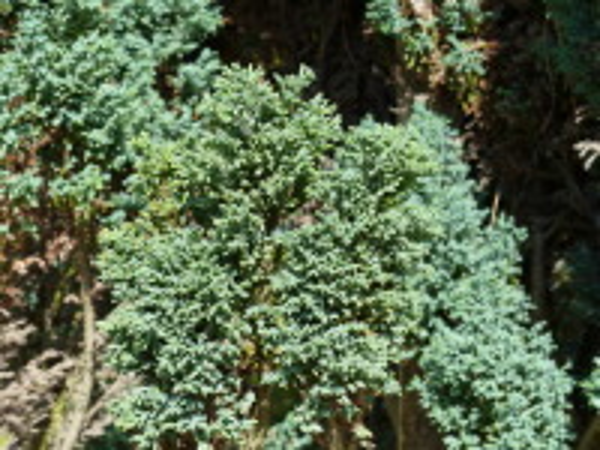 Chamaecyparis lawsoniana (Murray) Parl. 'Elwoodii'