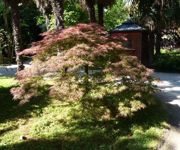 Acer palmatum Thunb. ex Murray 'Dissectum'