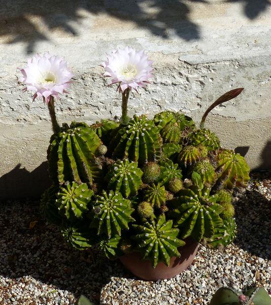 Echinopsis oxygona (Link) Zucc. ex Pfeiff. & Otto