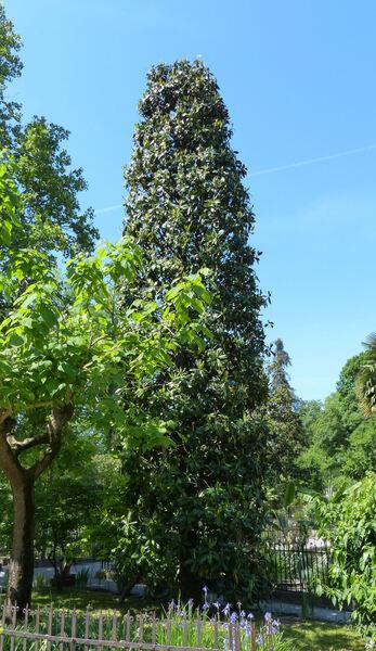 Magnolia grandiflora L. 'Gallisoniensis'