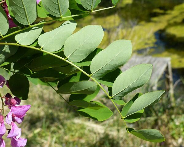 Robinia pseudoacacia L. 'Purple Robe'
