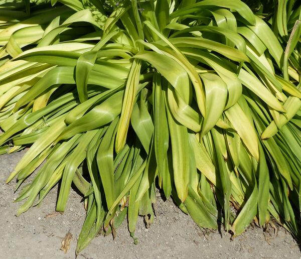 Oncostema elongatum (Parl.) Speta