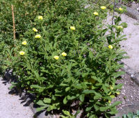 Potentilla detommasii Ten.
