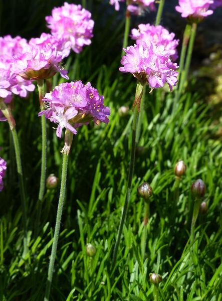 Armeria maritima Willd. s.l.