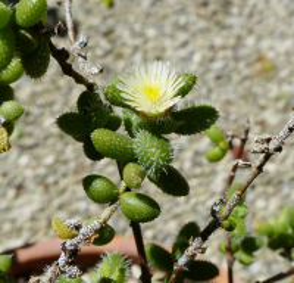 Delosperma echinatum (Lam.) Schwantes