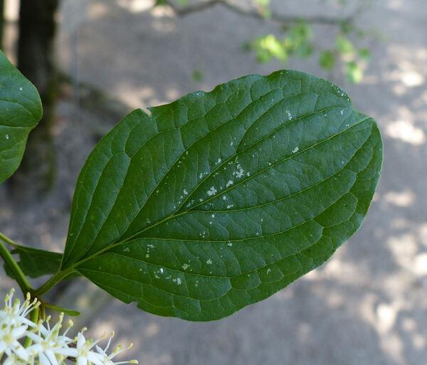 Cornus sanguinea L. subsp. australis (C.A.Mey.) Jáv.
