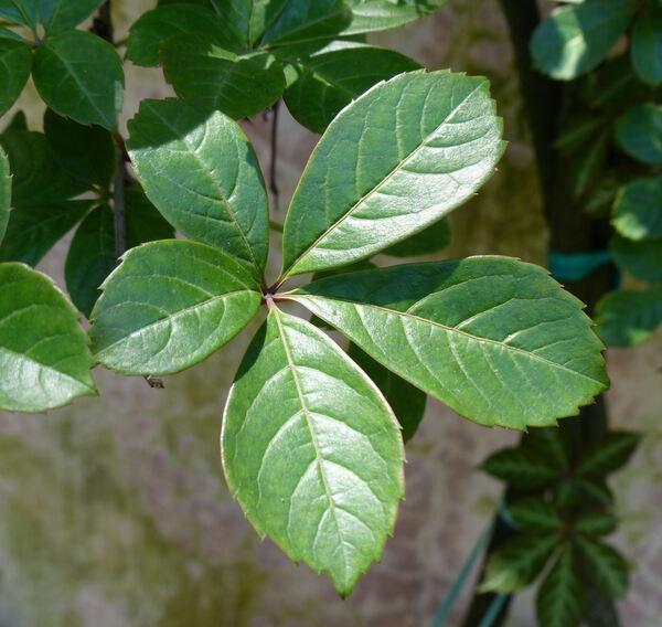 Parthenocissus henryana (Hemsl.) Diels & Gilg
