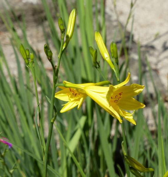 Hemerocallis lilioasphodelus L.