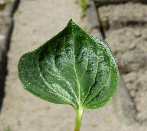 Vincetoxicum hirundinaria Medik. subsp. adriaticum (Beck) Markgr.