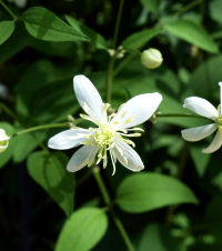 Clematis angustifolia auct.
