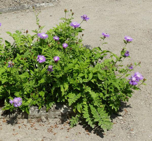 Centaurea dealbata Willd. 'Humilior'