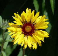 Gaillardia aristata Pursh