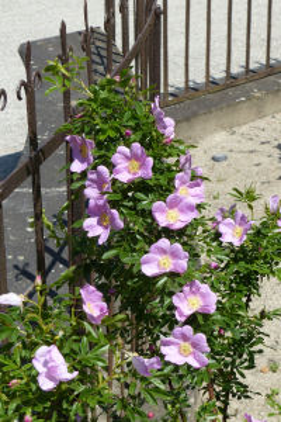 Rosa nitida Willd.