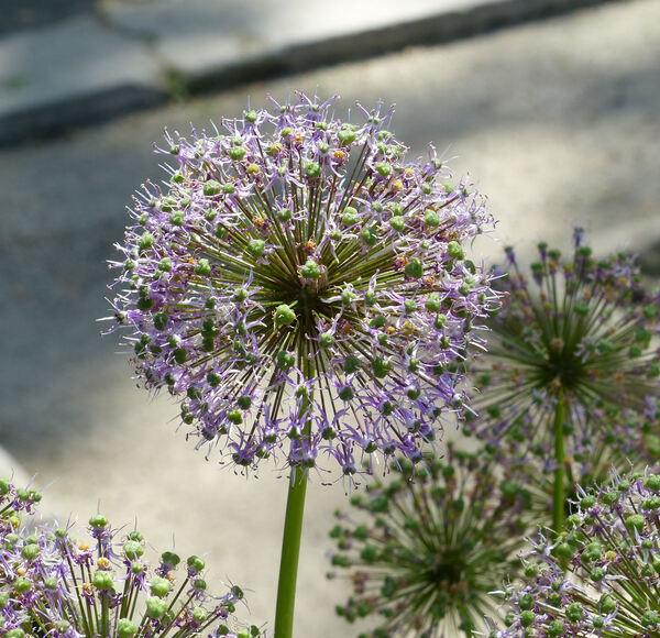 Allium suworowii Regel