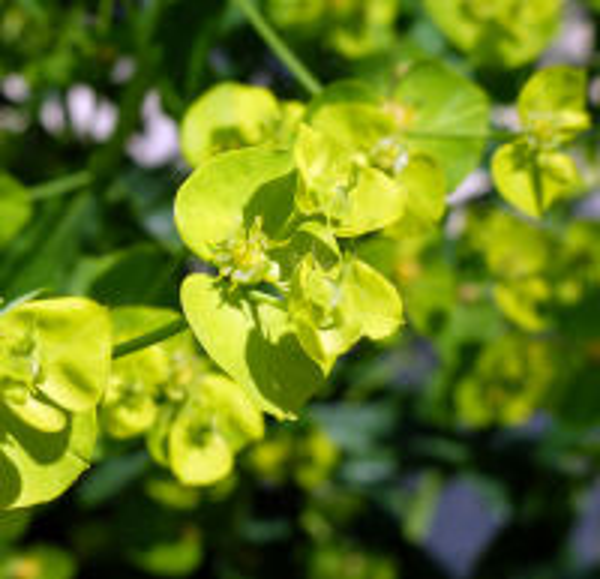 Euphorbia variabilis Ces.
