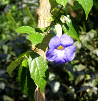 Thunbergia erecta (Benth.) T.Anderson