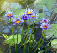 Nymphaea capensis Thunb.