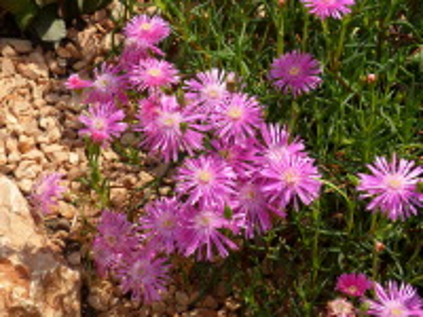 Lampranthus roseus (Willd.) Schwantes