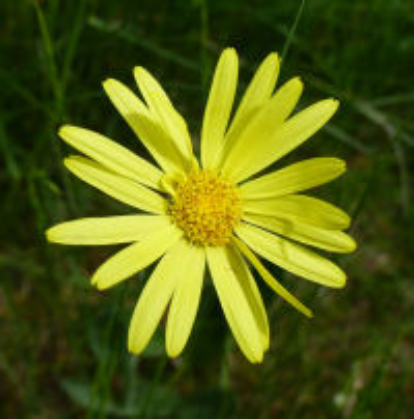 Senecio scopolii Hoppe & Hornsch. subsp. scopolii