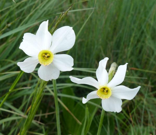 Narcissus radiiflorus Salisb.