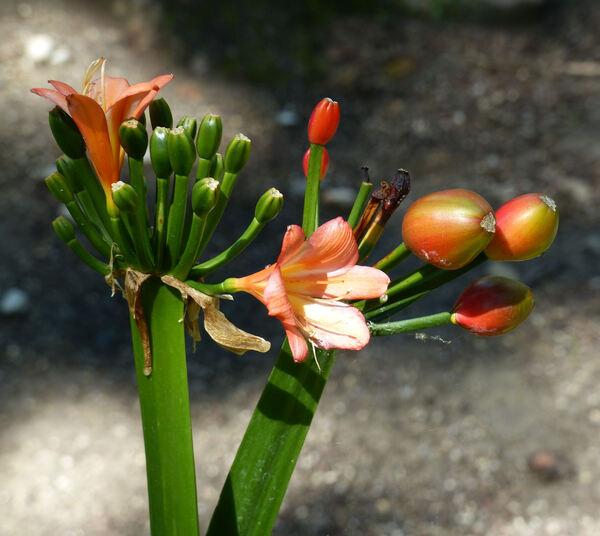 Clivia sp.