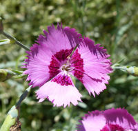 Dianthus plumarius L. 'Cottage Pinks'