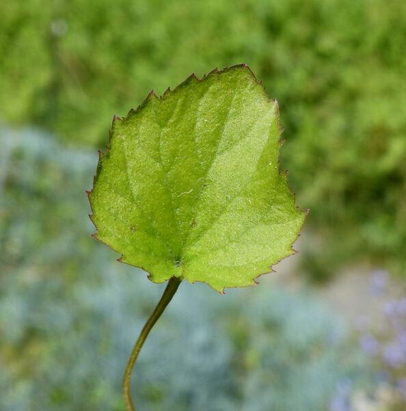 Campanula garganica Ten. 'Dickson's Gold'