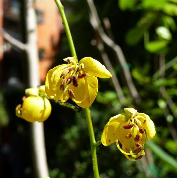 Cassia fistula L.