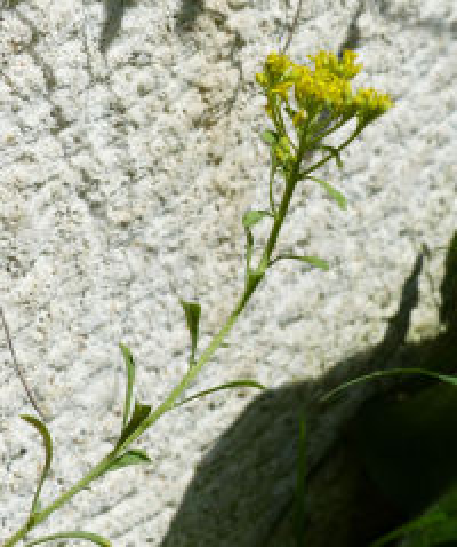 Odontarrhena bertolonii (Desv.) Jord. & Fourr.