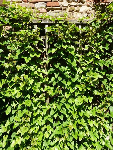 Dioscorea bulbifera L.