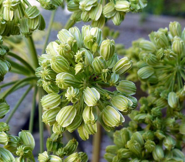 Angelica archangelica L. subsp. archangelica