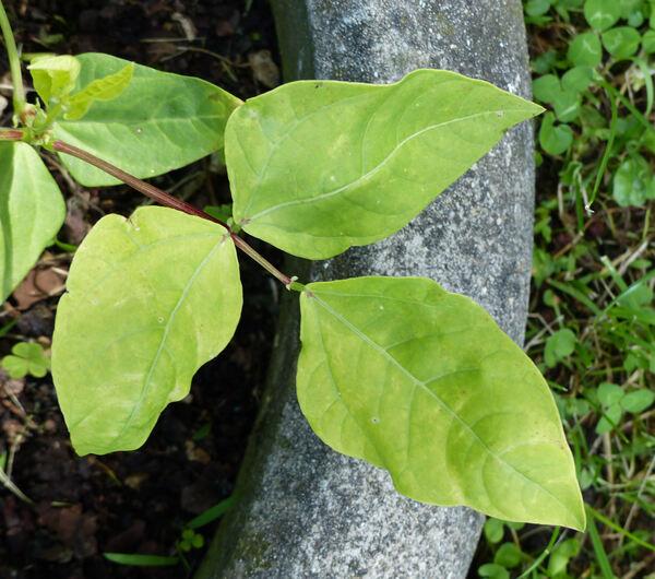 Vigna unguiculata (l.) Walp. subsp. sesquipedalis (L.) Verdc.