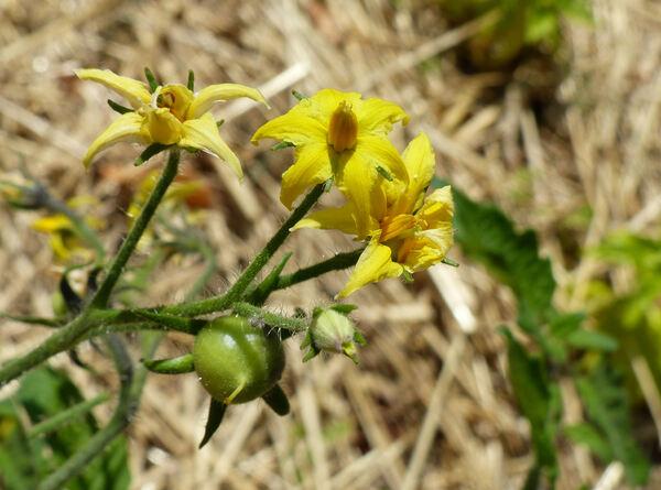 Solanum lycopersicum L. 'Tondo Blu'