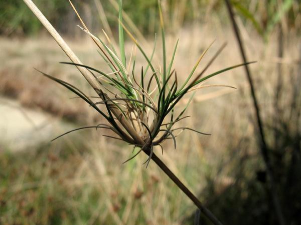 Agrostis canina L. subsp. monteluccii Selvi