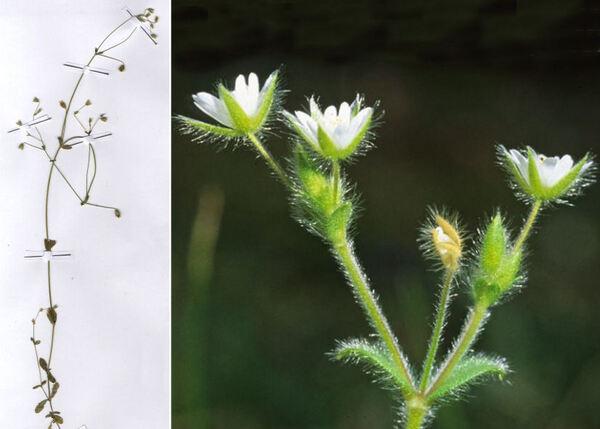 Cerastium brachypetalum Desp. ex Pers. subsp. tenoreanum (Ser.) Soó