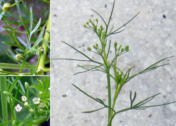 Cyclospermum leptophyllum (Pers.) Sprague ex Britton & P.Wilson