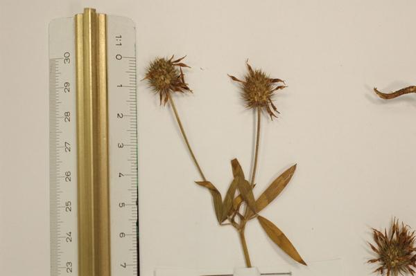 Trifolium latinum Sebast.