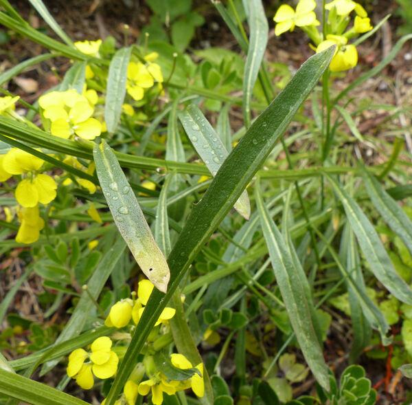 Erysimum sylvestre (Crantz) Scop.