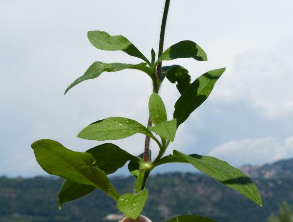 Silene latifolia Poir. subsp. latifolia
