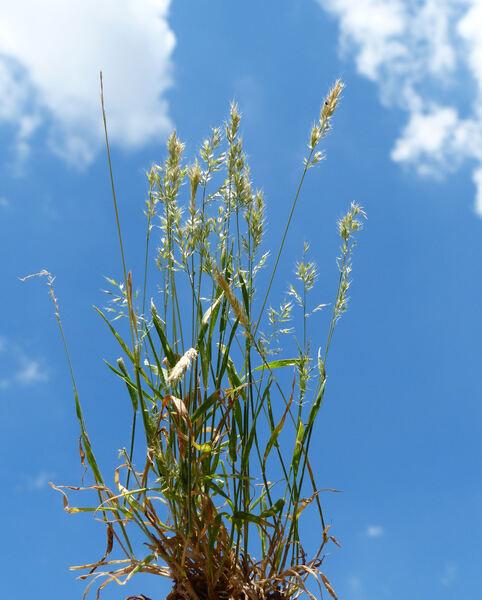Trisetaria panicea (Lam.) Paunero