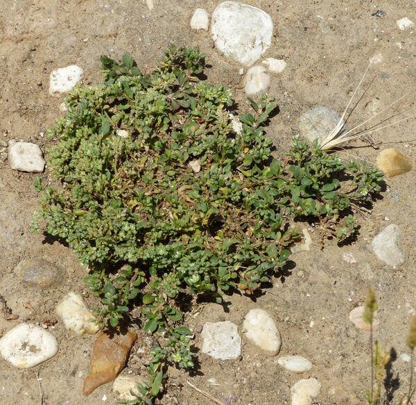 Polycarpon tetraphyllum (L.) L. subsp. diphyllum (Cav.) O.Bolòs & Font Quer